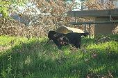 One Big Black Dog on alert in the green backyard, watching over its sleepy black female dog friend