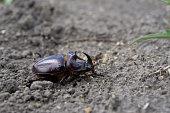 Big black rhinoceros beetle crawling
