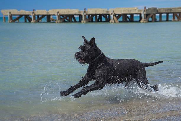big black schnauzer hund auf das meer. - riesenschnauzer stock-fotos und bilder