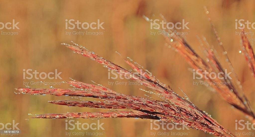 Big Bluestem and Dew stock photo