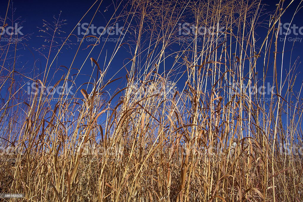 big bluestem and switch grass, blue sky stock photo