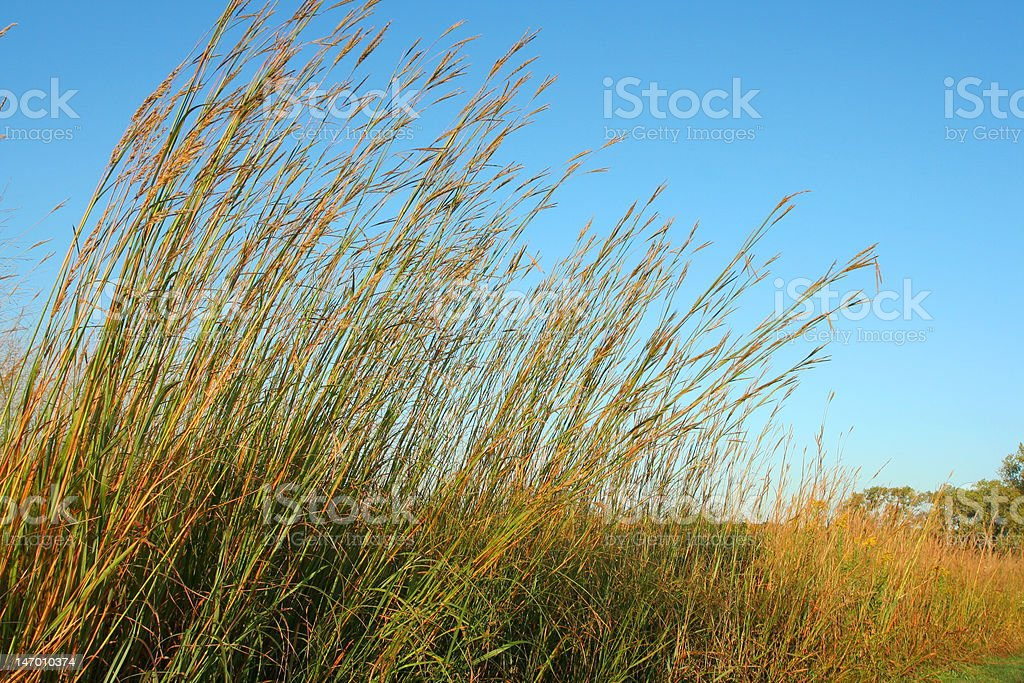 Big Bluestem, blue sky stock photo