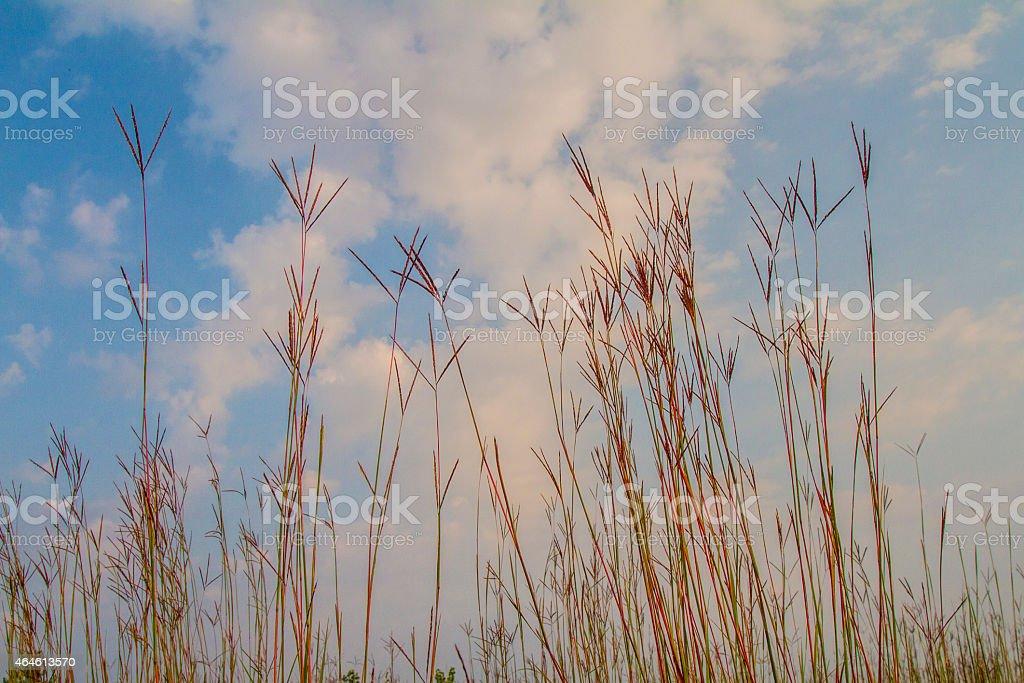 Big Bluestem stock photo