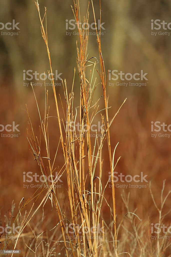 Big Bluestem prairie grass royalty-free stock photo