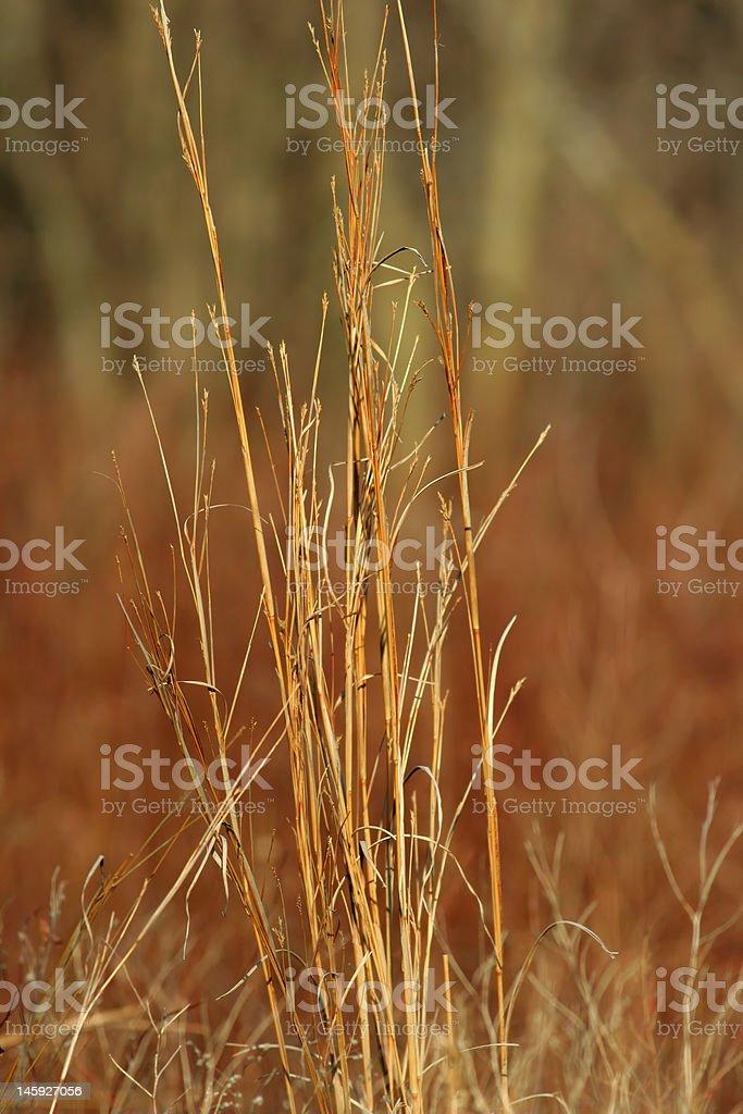 Big Bluestem prairie grass stock photo