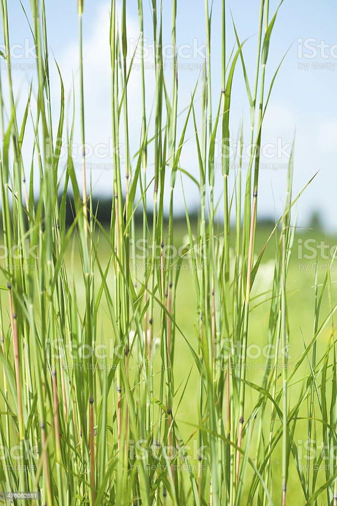 Big Bluestem Prairie Grass with Blurred Background stock photo