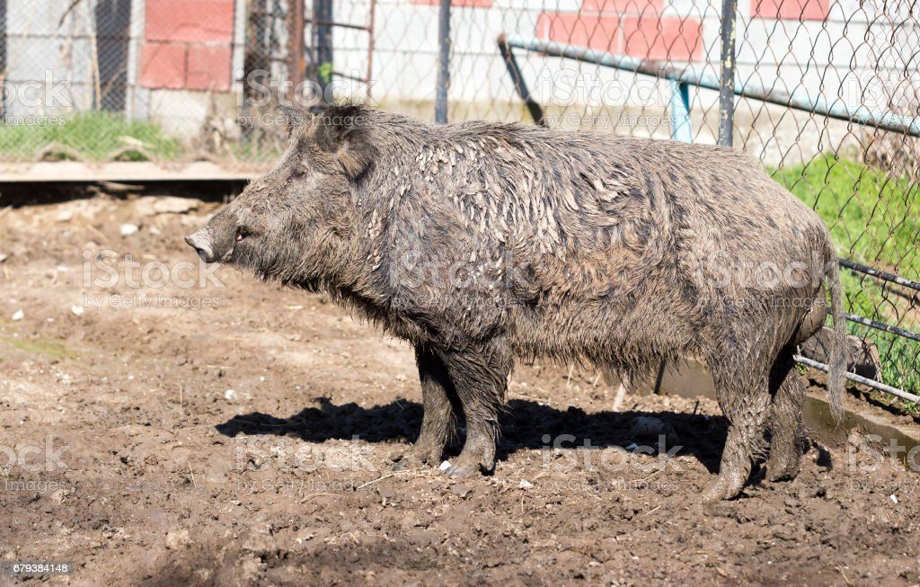 Big boar in the mud royalty-free stock photo