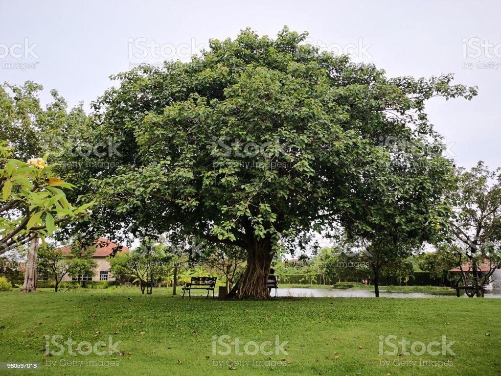 Gran árbol de Bodhi en el parque cerca del lago - foto de stock