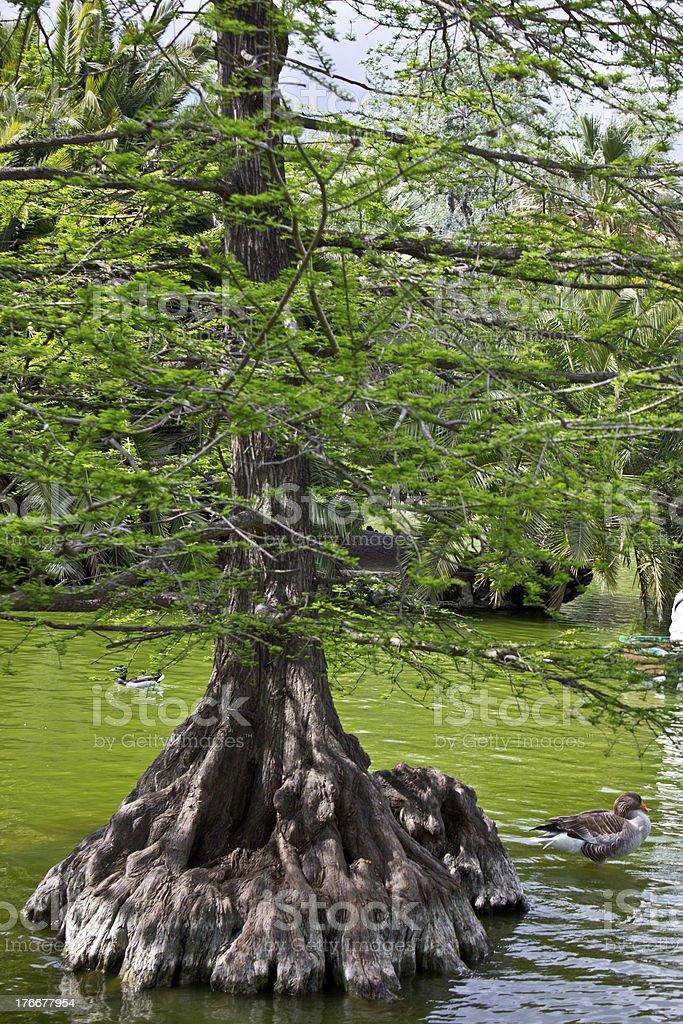 Big Bonzai tree in green lake with ducks royalty-free stock photo