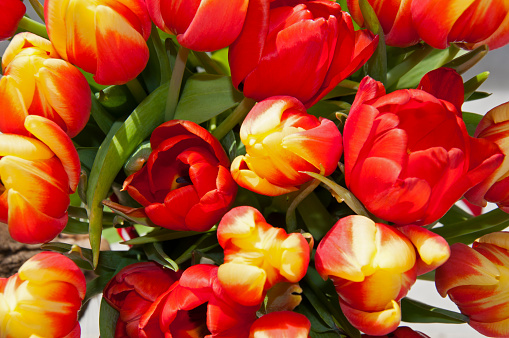 Big bouquet of red and yellow tulips with green leaves, macro