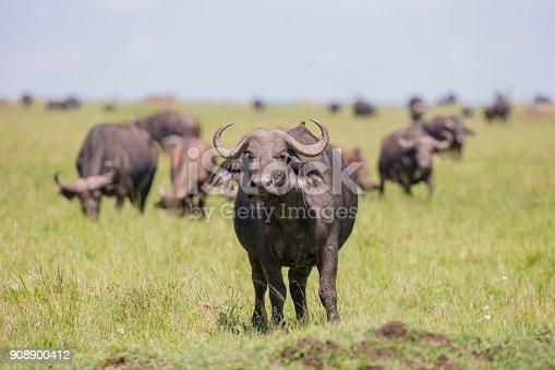 A male cape buffalo. Taken in Masai Mara, Kenya