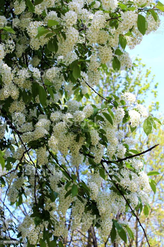 big branches of bird cherry tree royalty-free stock photo