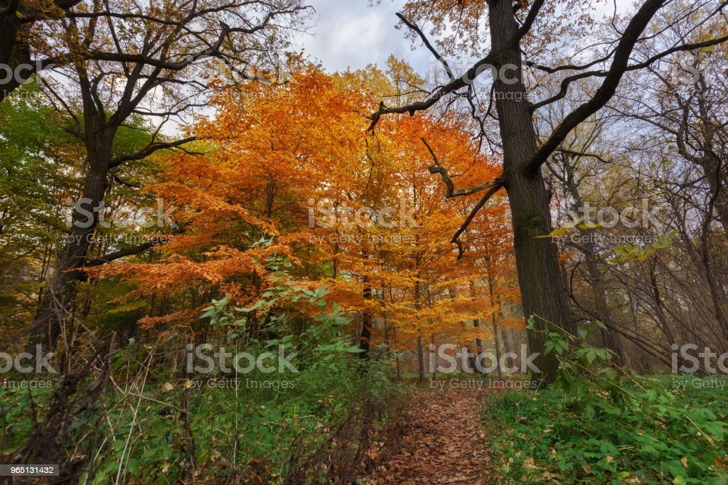 Big bright tree in the old autumn park. The path is strewn with dry leaves. Green grass in the foreground. Dried branches and cloudy sky zbiór zdjęć royalty-free