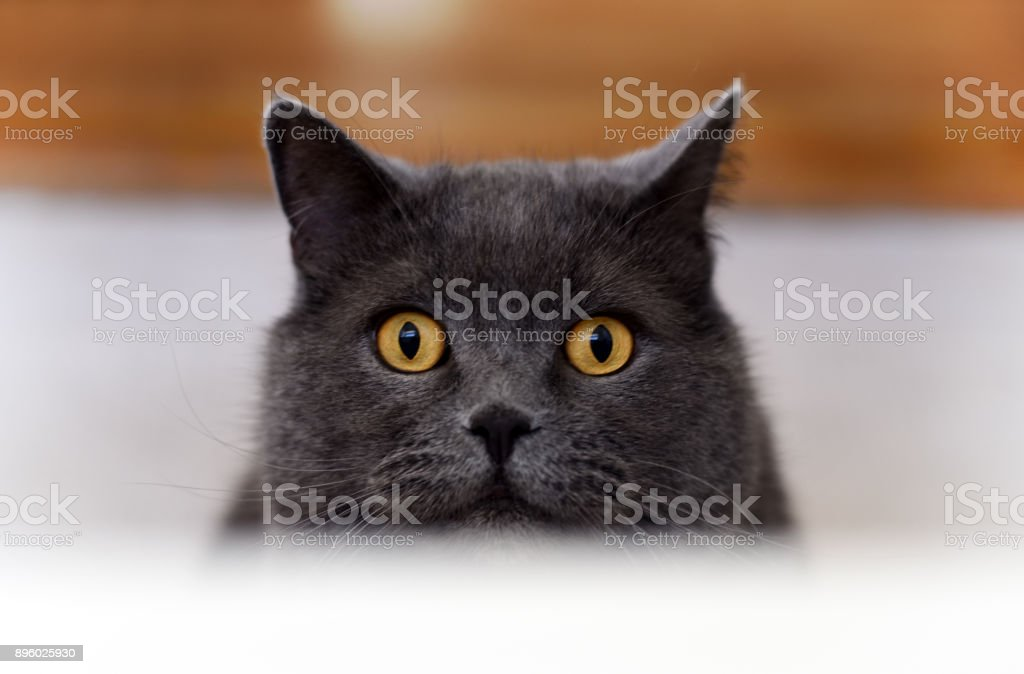 Big british blue tomcat peering over the edge of bathtube stock photo