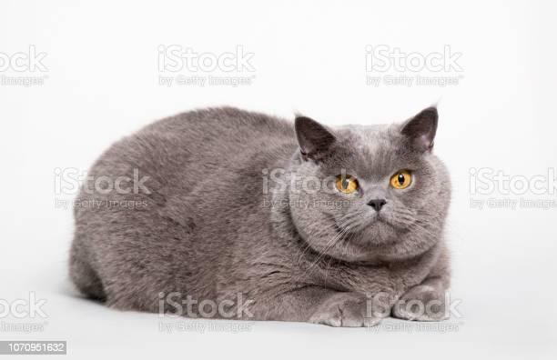 Big british shorthair cat picture id1070951632?b=1&k=6&m=1070951632&s=612x612&h=flnzkbsgcp6ohlfuq9z vqedvhgyxxv6kg9rjexgx1y=