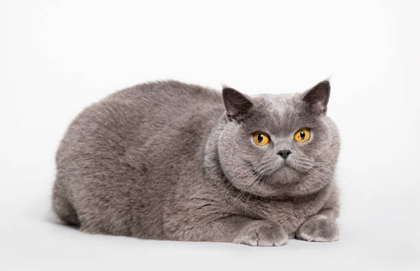 Big british shorthair cat picture id1070951632?b=1&k=6&m=1070951632&s=612x612&w=0&h=uz5po4qvqy koknaaurp7yqeue4glybuvdwm52988hm=