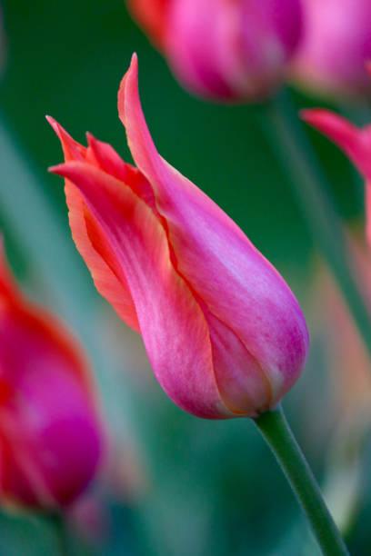 Big Brother Single Late Tulip stock photo