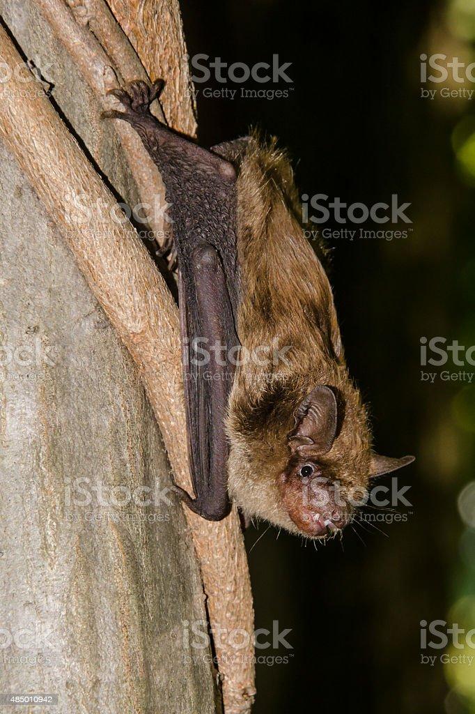 Big Brown Bat stock photo