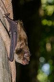 istock Big Brown Bat 485011480