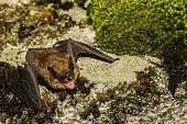 istock Big Brown Bat 533039676