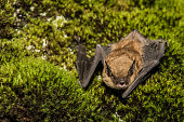 istock Big Brown Bat 533040042