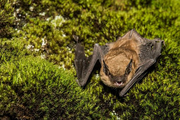 big brown bat - neerstrijken stockfoto's en -beelden