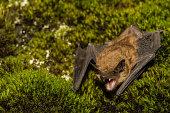 istock Big Brown Bat 533040458
