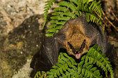 istock Big Brown Bat 533040736