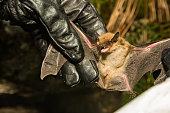 istock Big Brown Bat 908089172