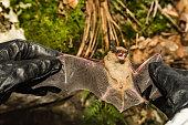 istock Big Brown Bat 908089174
