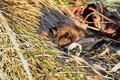 istock Big Brown Bat 916471618