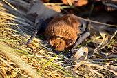 istock Big Brown Bat 916471646
