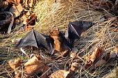 istock Big Brown Bat 916471746