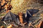 istock Big Brown Bat 916471752