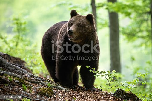 istock Big brown bear adult male approaching in summer forest from front view. 1221033273