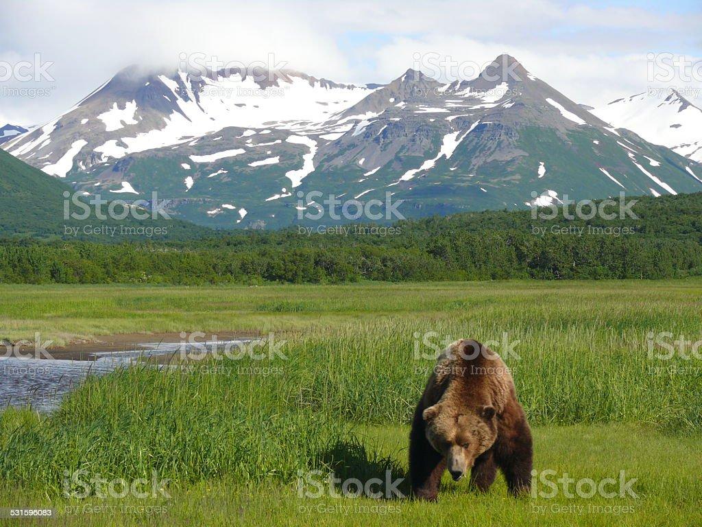 Big brown bear boar in Katmai NP, Alaska stock photo