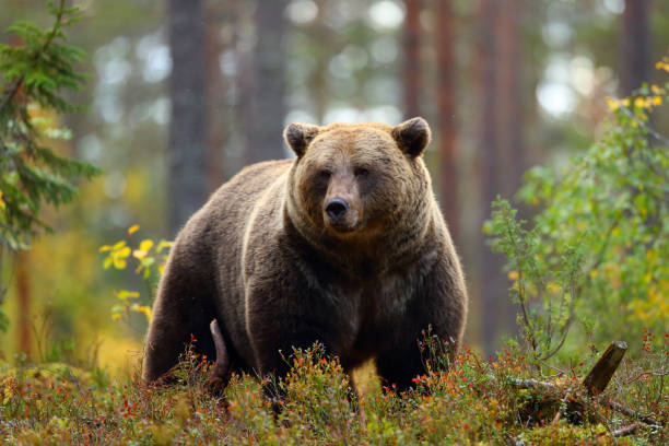 Big brown bear in a forest stock photo