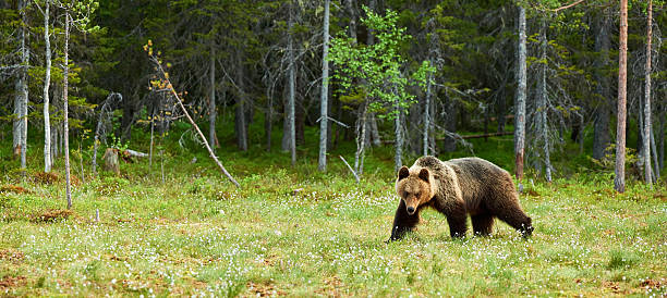 Big Brown bear in the forest stock photo