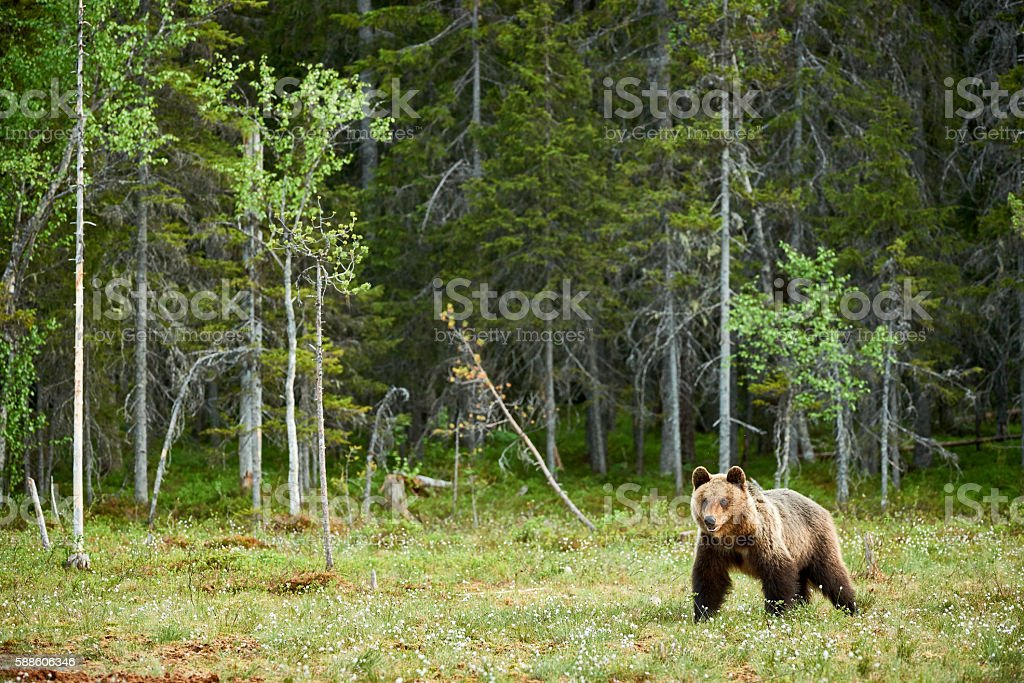 Big Brown bear im Wald – Foto