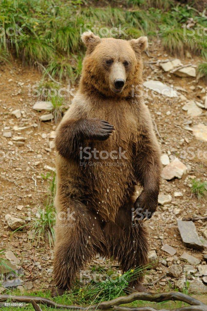 Grande urso pardo na floresta - foto de acervo