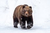 Close wild big brown bear in winter forest