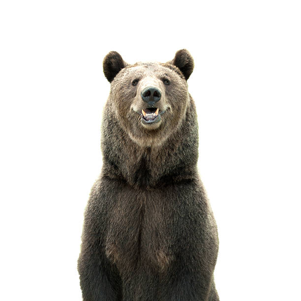 Big brown bear isolated on white background​​​ foto