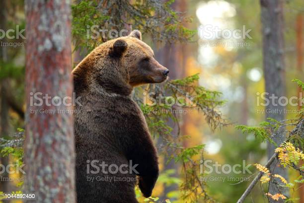 Big brown bear standing in a forest picture id1044892450?b=1&k=6&m=1044892450&s=612x612&h=gpybark506 mv23swhco2hurnfctiqiuss8pub8wwwo=