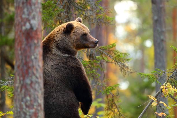 big brown bear standing in a forest - fauna selvatica foto e immagini stock