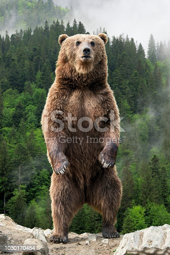 istock Big brown bear standing on his hind legs 1030170454