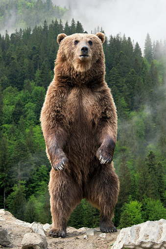 Brown bear (Ursus arctos) standing on his hind legs in the spring forest