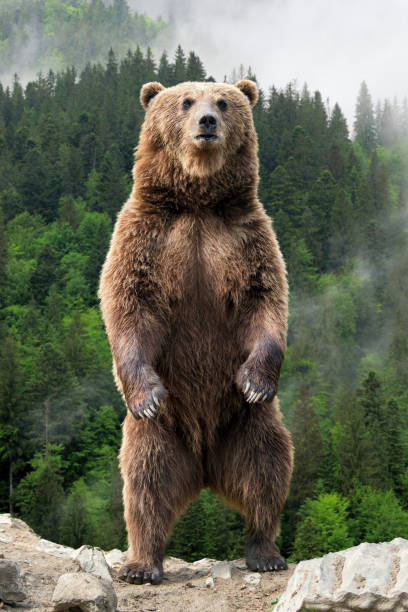 big brown bear standing on his hind legs - carnivora stock photos and pictures