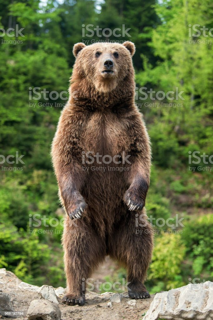 Big brown bear standing on his hind legs stock photo