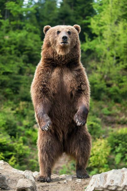 Gros ours brun debout sur ses pattes arrière - Photo