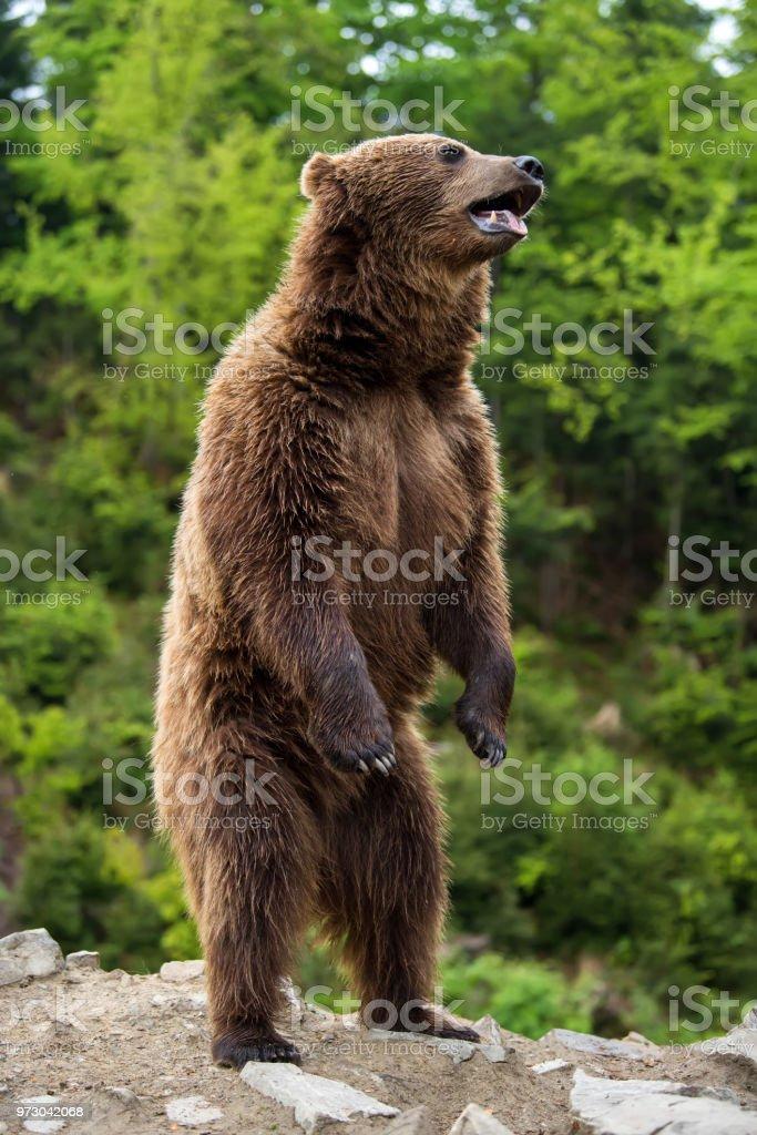 Grande urso marrom em pé em suas patas - foto de acervo